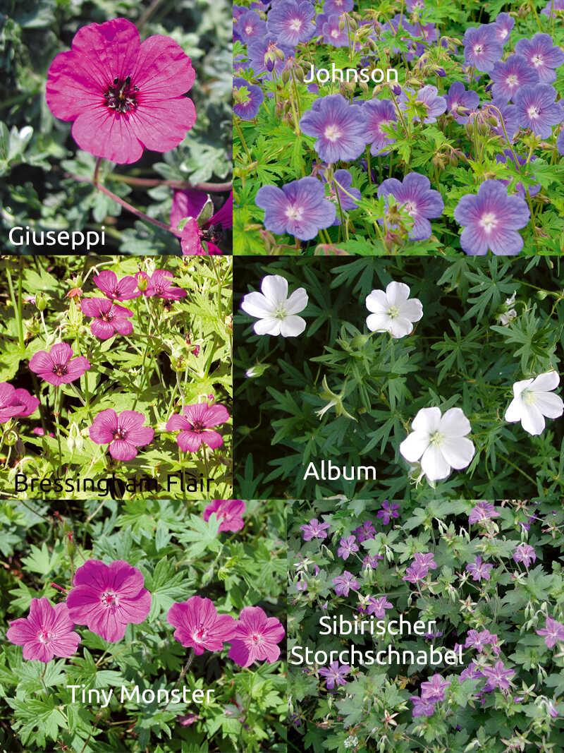 Storchschnabel Pflanzenensemble Aus Englischen Garten Bestellen