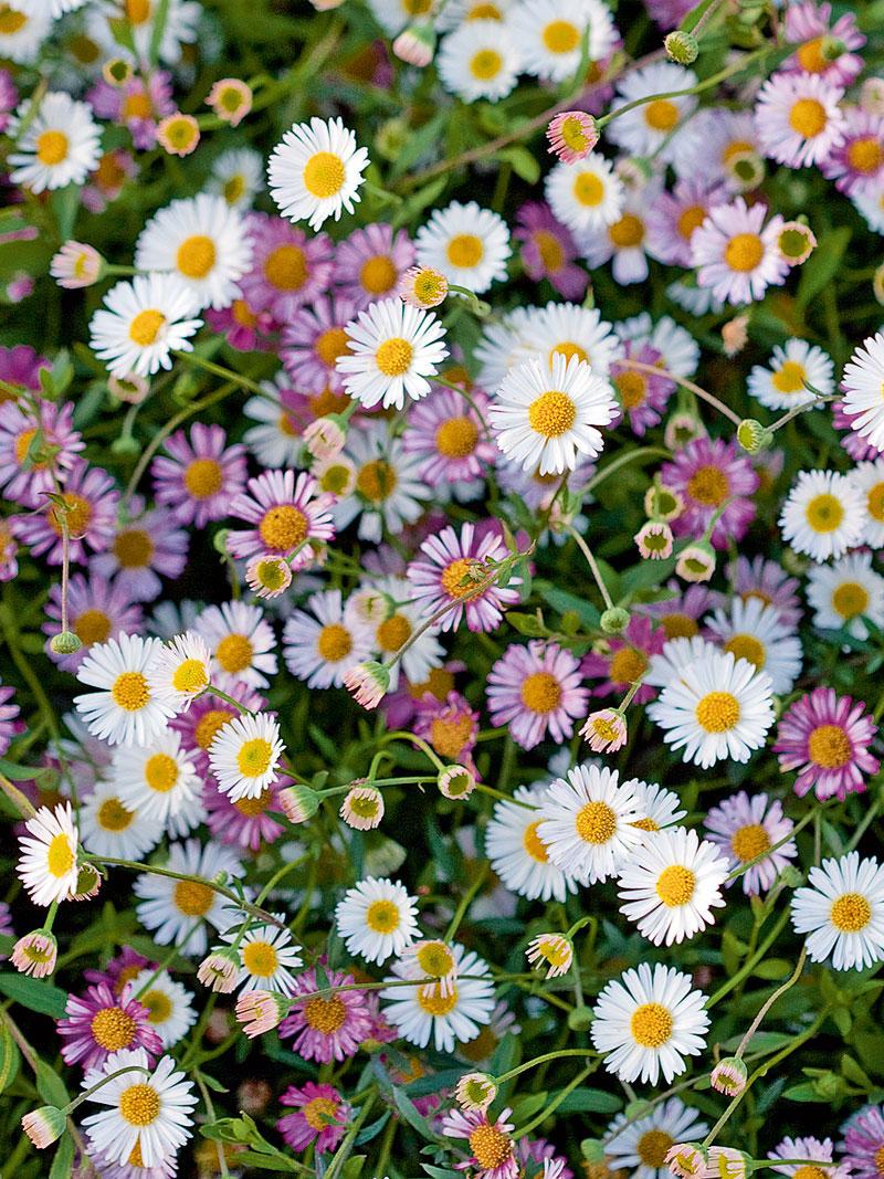 Spanische Ganseblumchen Bestellen The British Shop Englisches