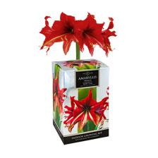 Amaryllis Ruby Star von Taylors Bulbs