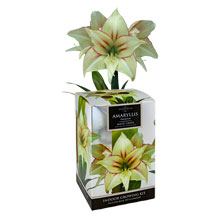 Amaryllis Magic Green von Taylors Bulbs